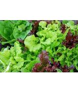MIXED LETTUCE SALAD BOWL VEGETABLE SEEDS - 100 ... - $1.49