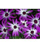 AFRICAN DAISY FLOWER SEEDS - 25 FRESH SEEDS   F... - $1.49