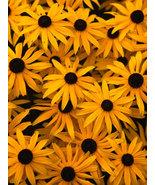 BLACK EYED SUSAN FLOWER SEEDS 100 SEED FRESH BL... - $1.49