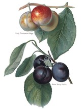 Vintage Fruit Prints: Early Transparent Gage - Fruit Growers Guide - 1880 - $12.82+