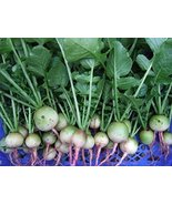 COOL BEANS N SPROUTS - Radish Seeds,White Egg Radish, Radish Seeds, 50 S... - $2.96