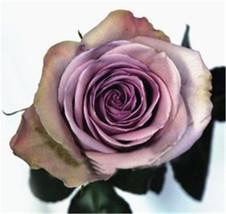 120Seeds Amnesia Rose Seeds DIY Home Garden Bush Bonsai Yard Flower So S... - $3.79