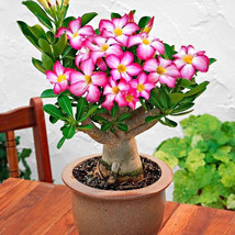 Desert rose seeds for planting adenium obesum seeds to grow bonsai plants - $4.49