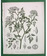 WATER DROPWORT Plant Flower - 1858 H/C Botanical Color Antique Print - $15.30