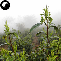 Buy Green Tea Tree Seeds 60pcs Plant Chinese Green Tea For Huang Shan Ma... - $9.99