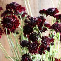 Black Knight Scabiosa Flower Seeds - $8.99