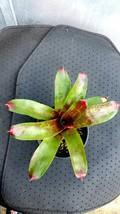 bromeliad neoregelia alex live plant Outdoor Living Gardening - $81.99