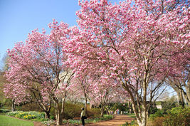 1 Saucer Magnolia- Magnolia soulangana image 3