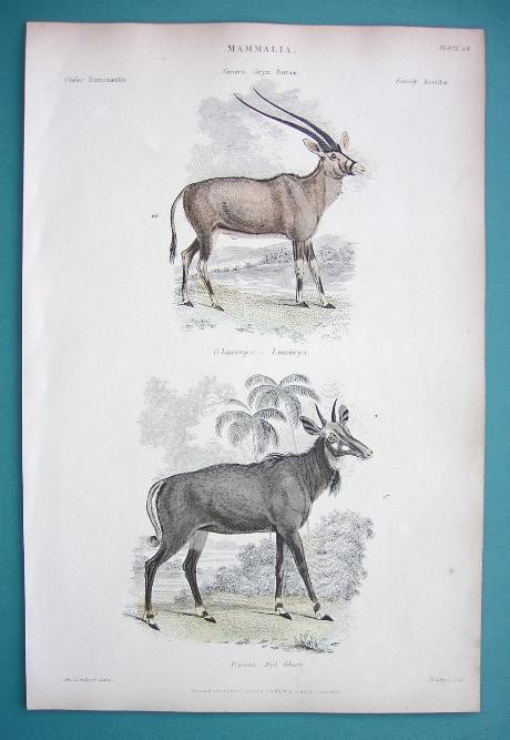 MAMMALS Mammalia Antelopes Oryx & Nyl Ghau  - 1860 COLOR  Antique Print