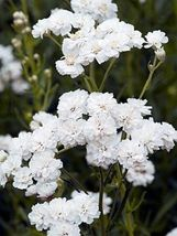 Ship From Us 50 Seeds White Achillea Flower,Diy Sb Flower Seeds - $27.99