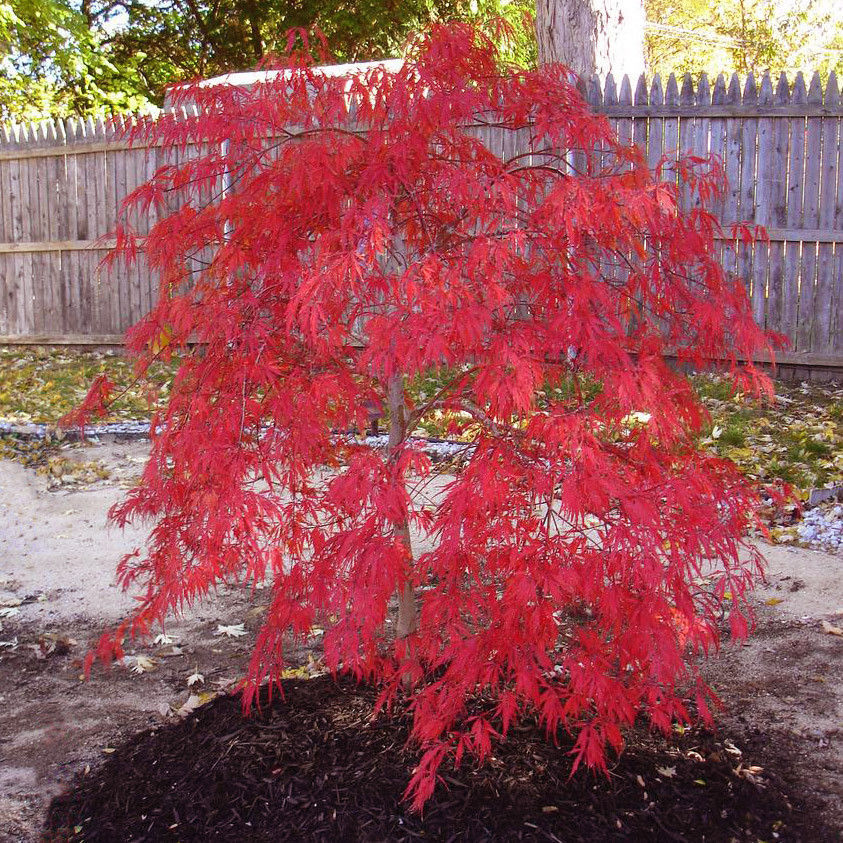 fb-feed |Japanese Maple Red Beetle