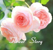 100 Seeds Pink Rose Flower Adorable Color DIY Home Garden Flower Bush Bonsai  - $7.00