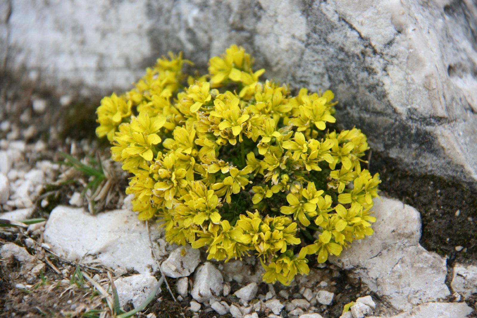 15 Draba aizoides Seeds, Alpine Draba, Alpine Whitlow grass Seeds - $8.00