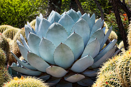 Artichoke Agave with Golden Barrel, Fine Art Photos, Paper, Metal, Canva... - $40.00
