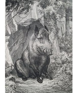 HUNTING Wild Boar in Forest - 1878 Fine Quality Print - $40.46