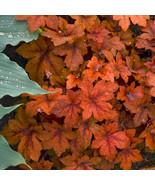 """2.5"""" pot  heucherella PUMPKIN SPICE tiarella coral bells 1 Live Potted P... - $35.99"""