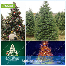 50pcs Norway Spruce Tree Seeds Christmas Tree Christmas Decorations Bonsai - €4,40 EUR