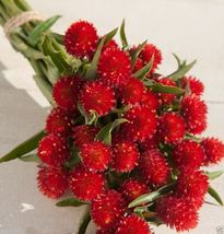 50 Globe Amaranth Seeds - Strawberry Fields, Very Easy To Grow From Seed - $13.99