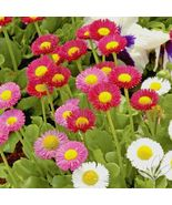 SHIPPED FROM US 800+ENGLISH DAISY MIX Flower European Early Blooms Seeds... - $17.00
