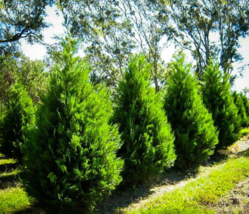"25 Leyland Cypress trees 2 1/2"" inch pot image 5"