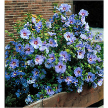 """3 plants 4"""" + up Shrubs, Trees, Hibiscus Rose Of Sharon Plant Potted zon... - $39.99"""