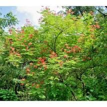 Red Bird Of Paradise Caesalpinia Flower 10 Seeds #SFB11 - $18.17