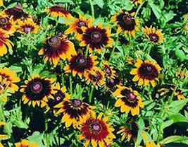 100 Rudbeckia Hirta (Autumn Forest) Seeds - $6.93