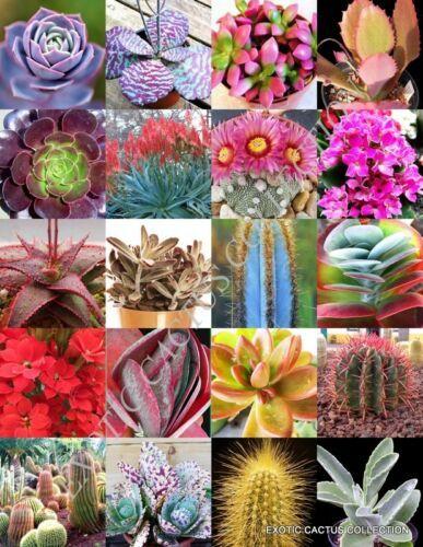 Frithia humilis exotic white flower rare cactus mesembs cacti seed 15 SEEDS