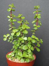 "PORTUCALARIA AFFRA Green rare elephant bush mini jade tree bonsai 4"" plant - $26.00"