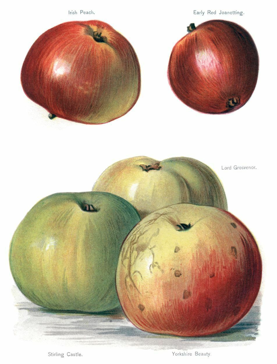 Primary image for Vintage Fruit Prints: Irish Peach - Fruit Growers Guide - 1880