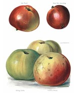 Vintage Fruit Prints: Irish Peach - Fruit Growers Guide - 1880 - $12.82+