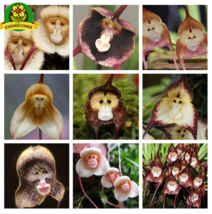 Exotic Beautiful Flower Seeds Monkey Face Orchids Seed 200pcs MIX ORCHID... - $4.20