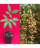 Longan Dimocarpus Dragon Eye Seedling Plant Tropical Fruit Tree - $28.30