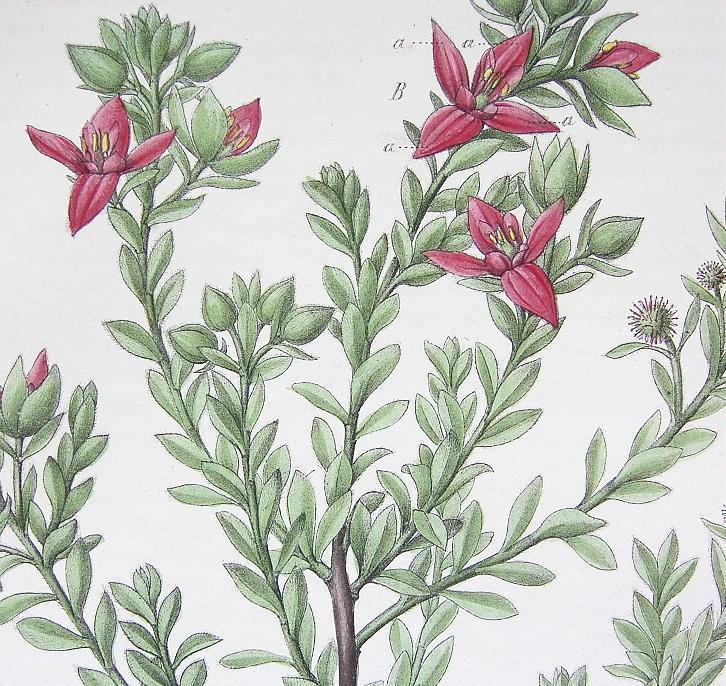 PERUVIAN RHATANY Flower Medicinal Krameria Triandra - 1860 Color Botanical Print