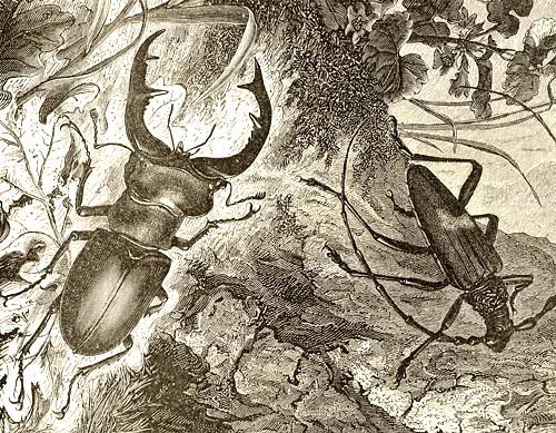 Primary image for STAG BEETLE & LONGICORN BEETLE WOOD ENGRAVING 1800s