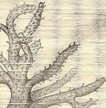 CORK POLYP (Aleyonium) WOOD ENGRAVING 1800s - $14.99