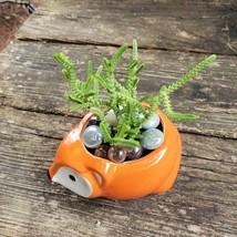 """Succulent in Fox Planter, Live Plant Watch Chain Crassula muscosa 5"""" Orange Pot image 5"""
