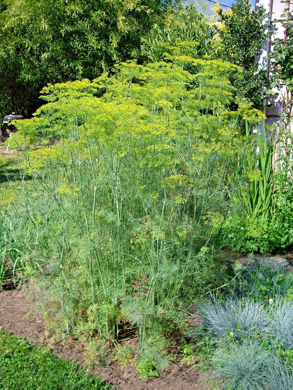 Primary image for SHIPPED FROM US 600+MAMMOTH LONG ISLAND DILL Culinary Medicinal Herb Seeds, CB08