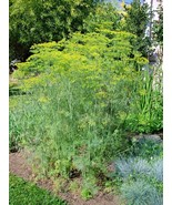 SHIPPED FROM US 600+MAMMOTH LONG ISLAND DILL Culinary Medicinal Herb See... - $17.00