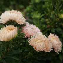 100 Peony Aster Seeds Duchess Pink Aster FLOWER SEEDS Paeony - Outdoor Living - $37.99