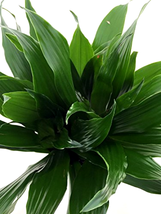 "Janet Craig Dragon Tree - Live house Plant - Easy to grow 4"" - Great Gif... - €17,17 EUR"