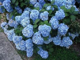 "Nikko Blue Hydrangea macrophylla Established Perenial Rooted 3.5"" Pot 3 Plants  - $30.00"