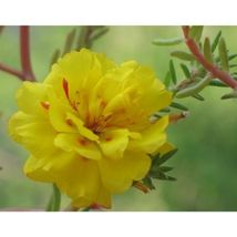 Yellow Portulaca Grandiflora Flower 100 Seeds #SFB11 - $18.17