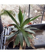 Agave chiapensis Tropical Large Rosette Agave Loves Shade and Water, Liv... - $29.65
