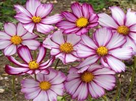 SHIP FROM US 1,000 Cosmos Picotee Seeds, ZG09 - $20.76