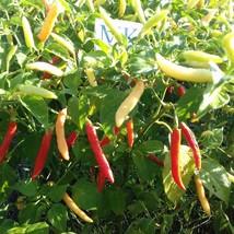 PIRI-PIRI,20 Semillas,Seeds,Capsicum chinense , cosecha propia (242) - $2.18