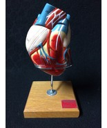 Denoyer Geppert Nonbreakable Life-Size Heart Anatomical Model 2 part A45 - $117.39