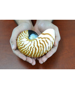 """Brown Tiger striped CHAMBERED NAUTILUS SHELL decoration 4"""" - 5"""" 7807 - $30.00"""