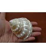 "mother of PEARL pearlized ASTREA UNDOSA sea shell 3"" - 4"" #7044 - $9.00"