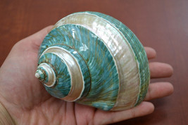 "Polished GREEN JADE Banded Turbo Hermit CRAB Sea Shell 4"" - 4 1/2"" 7067 - $20.00"